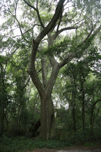 Georgian Tree